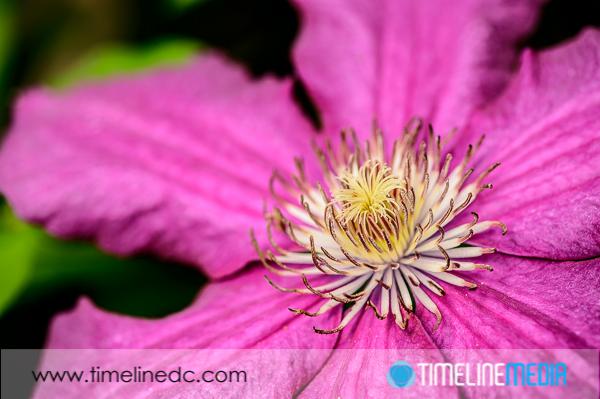 ©TimeLine Media - Clematis