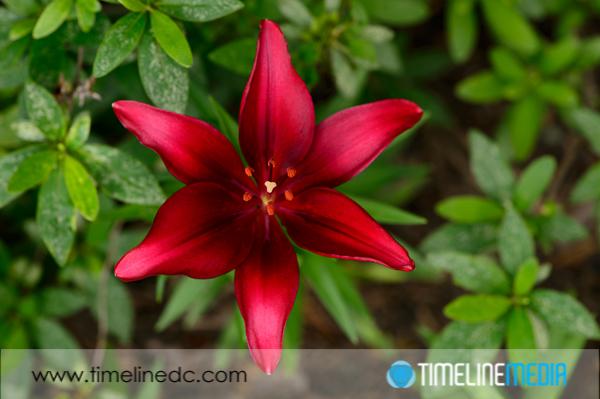 ©TimeLine Media - dark red lilly