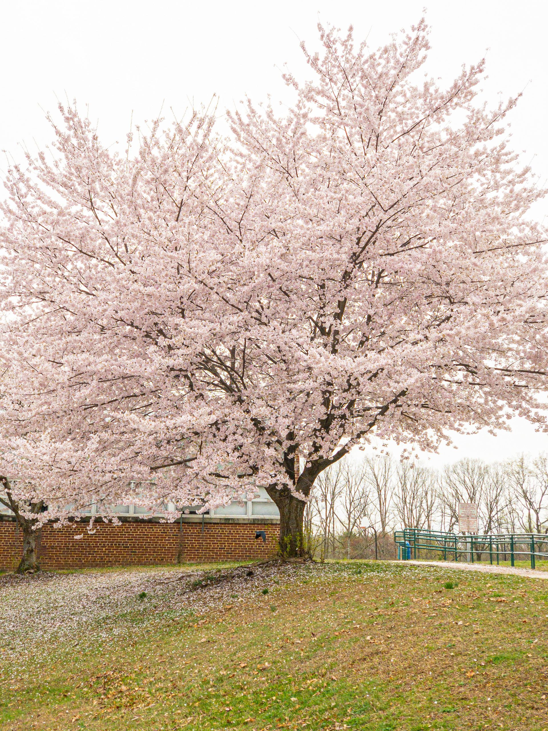 Falls Church cherry blossom tree in full bloom