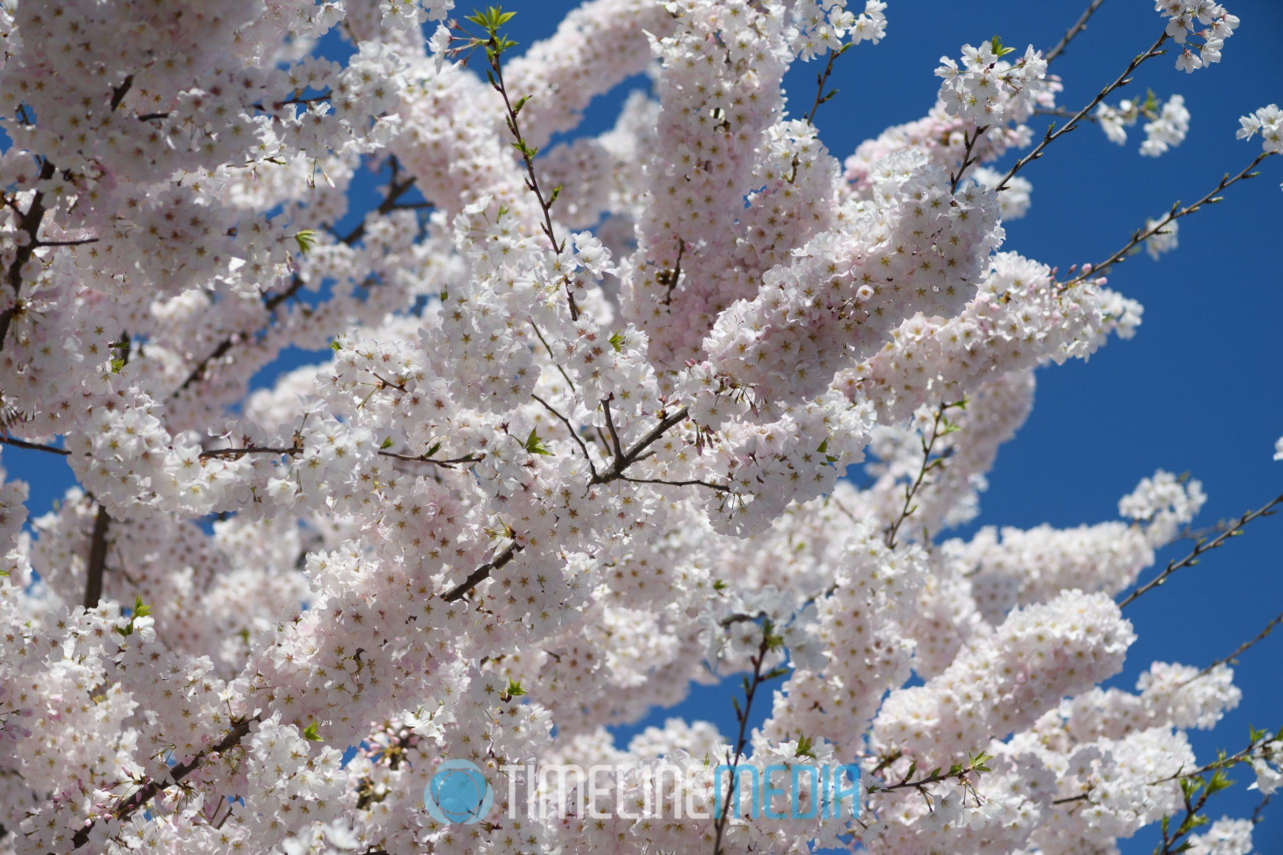 Washington, DC Tidal Basin cherry blossoms full bloom ©TimeLine Media