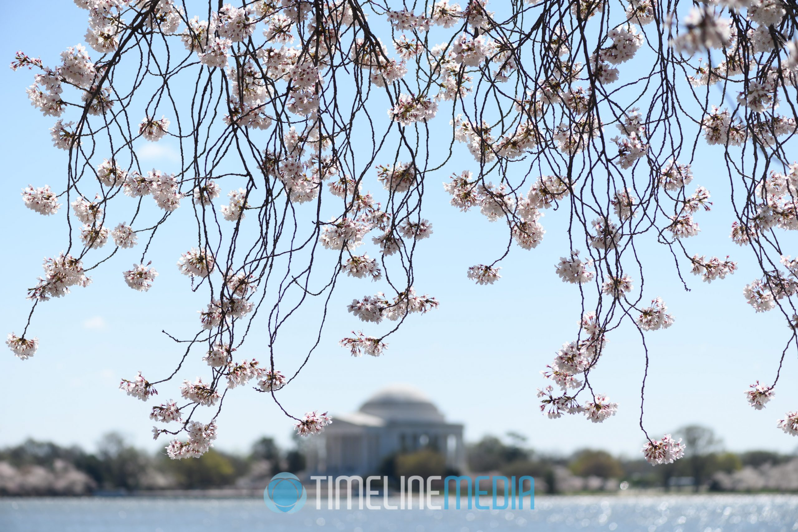 2016 Cherry Blossoms and the Jefferson Memorial ©TimeLine Media