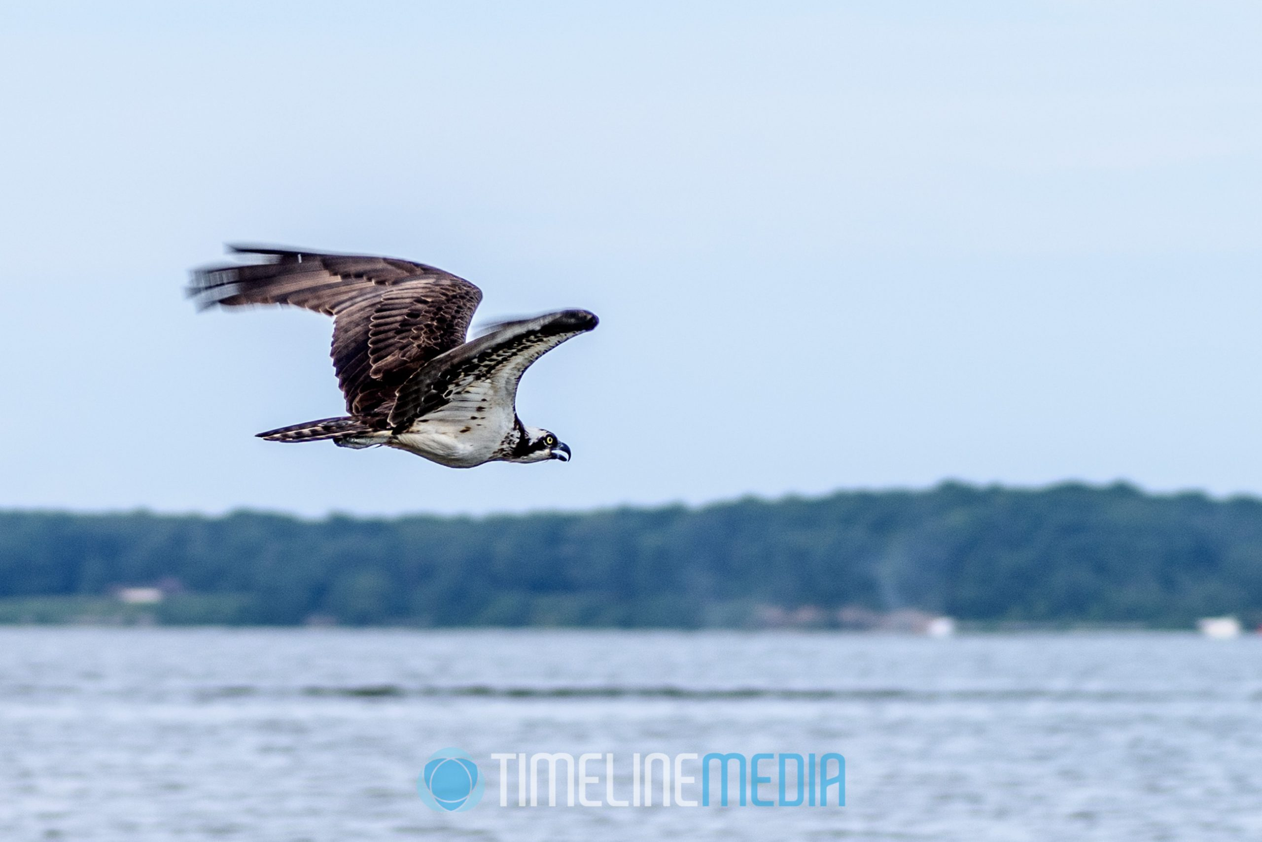 Shore birds flying over Featherstone Shores on the Occoquan River, Woodbridge, VA ©TimeLine Media