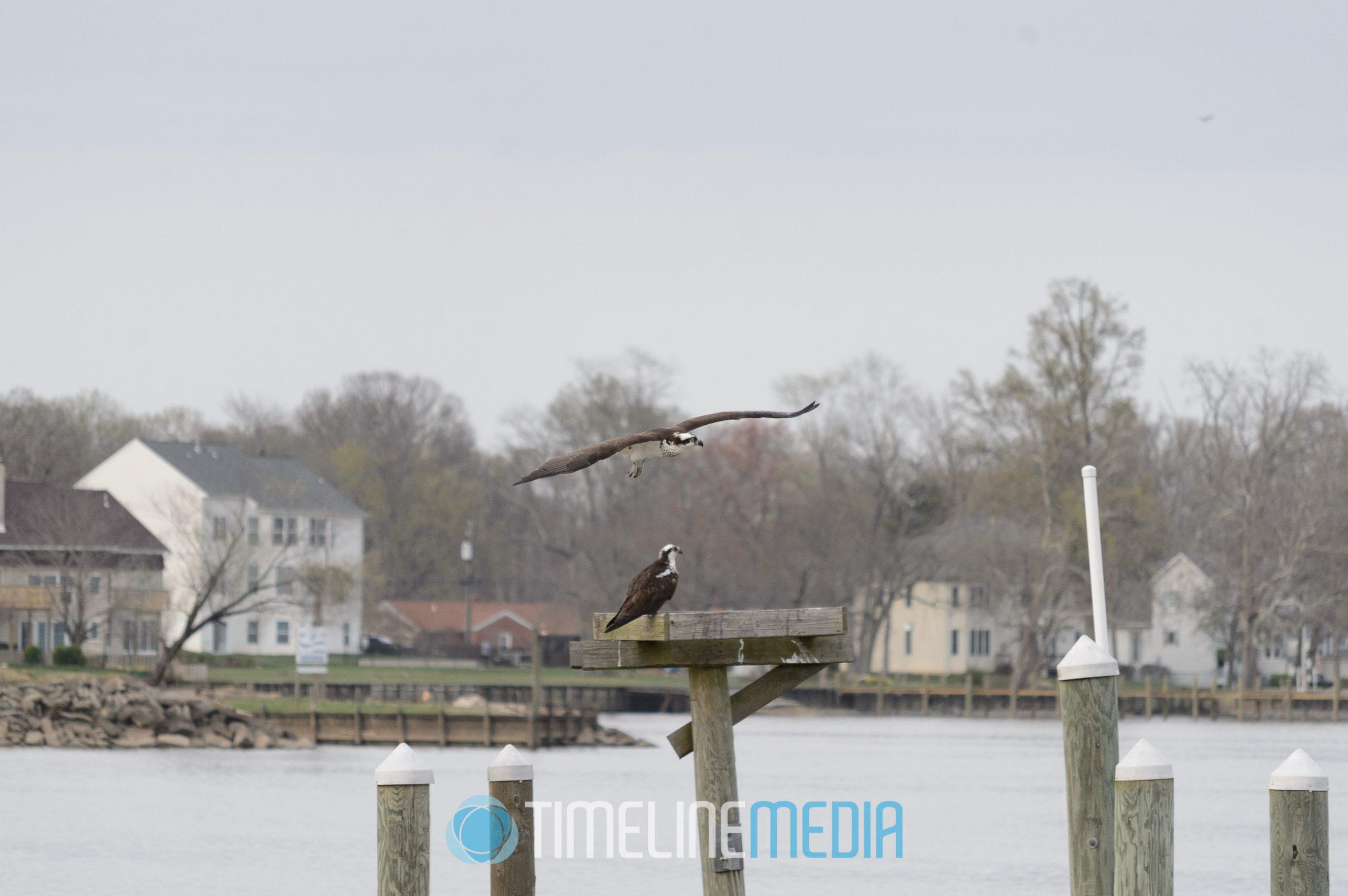 Two ospreys approaching nest on Occoquan River, Woodbridge, VA ©TimeLine Media