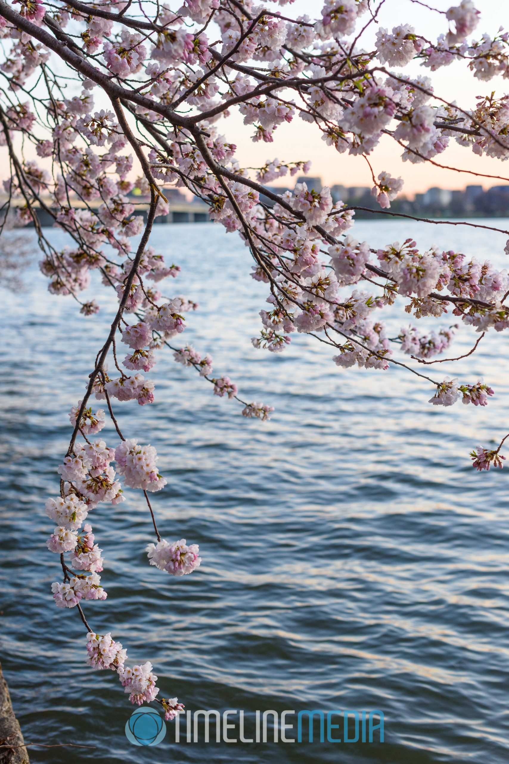 Washington, DC Tidal Basin cherry blossoms in the early evening ©TimeLine Media