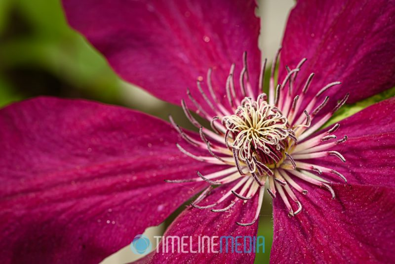 Clematis flower blooming in the back yard ©TimeLine Media