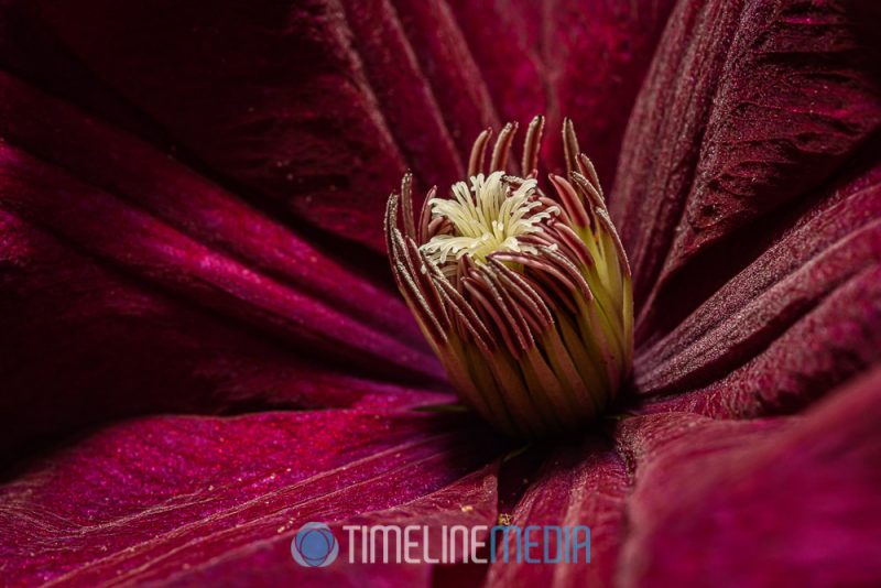 Macro image of Clematis bloom with extra lighting ©TimeLine Media