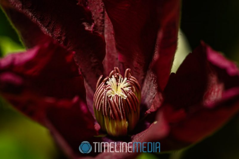 Newly opening 2020 Clematis flower ©TimeLine Media