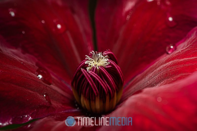 Flower bloom with some added sprayed water ©TimeLine Media