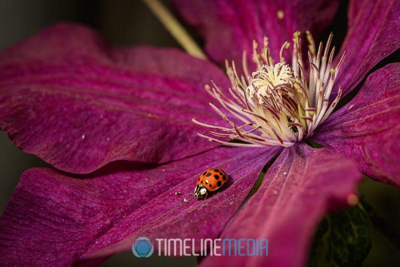 Lady bug on a clematis flower ©TimeLine Media
