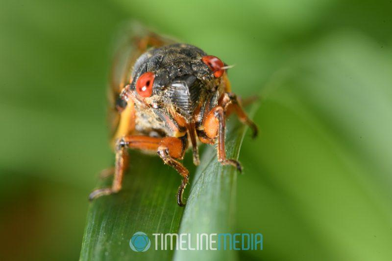 Close up view of cicada on a leaf ©TimeLine Media Cicadas 17 years