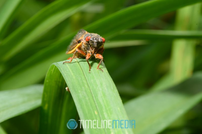 Off camera flash to simulate daylight on a cicada in the garden ©TimeLine Media - Cicadas 17 years
