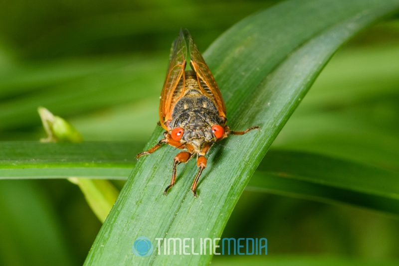 Cicada on a leaf in the garden ©TimeLine Media