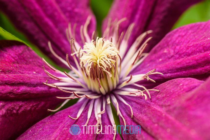 Clematis bloom in the garden ©TimeLine Media
