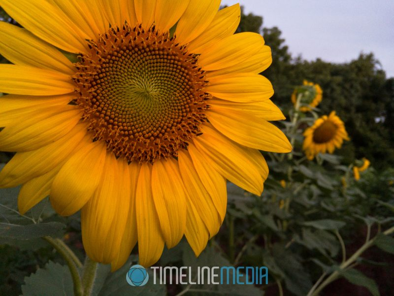 2017 McKee-Beshers sunflower blooms in Maryland ©TimeLine Media